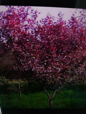 山西省大同市大同县紫叶矮樱