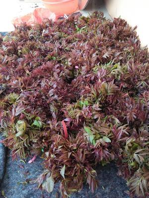 山东省潍坊市临朐县红香椿芽 露天种植 箱装 一级