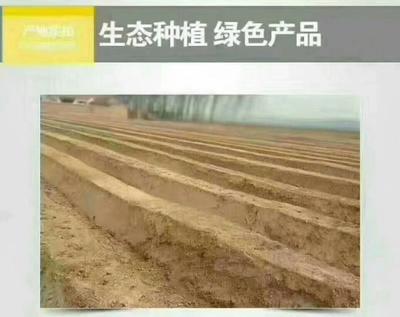 山东省菏泽市曹县白芦笋 20cm以上 20mm以上