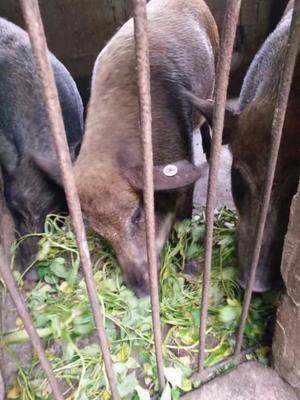 重庆北碚区商品野猪 160-200斤 统货
