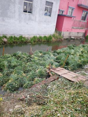 江苏省泰州市兴化市分葱大葱 2cm左右 25cm以下 净葱