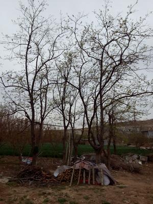 山东省青岛市黄岛区柿子树
