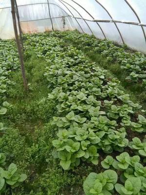 贵州省安顺市平坝县大叶木耳菜 绿色