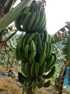 云南省西双版纳傣族自治州勐腊县西双版纳香蕉 七成熟 40 - 50斤