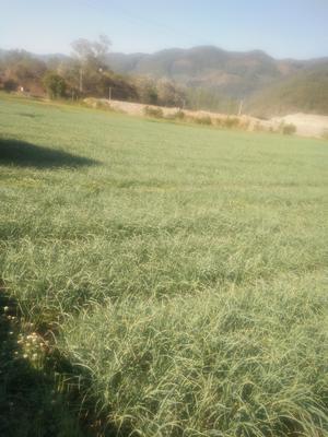云南省大理白族自治州洱源县红根蒜苗 80 - 90cm