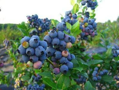 黑龙江省哈尔滨市尚志市北陆蓝莓苗