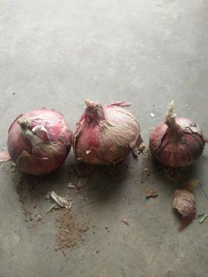四川省凉山彝族自治州西昌市红皮洋葱 5~8cm 红皮 4两以上