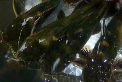 上海青浦区池塘黄颡鱼 人工殖养 0.1龙8国际官网官方网站
