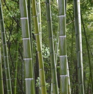 广西壮族自治区桂林市资源县竹子扫帚