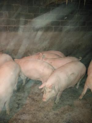 湖北省襄阳市保康县三元猪 200-300斤