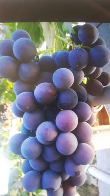 山东省青岛市莱西市巨峰葡萄 5%以下 1次果 0.8-1斤