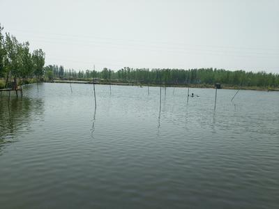江苏省徐州市沛县池塘鲤鱼 人工养殖 1-1.5龙8国际官网官方网站