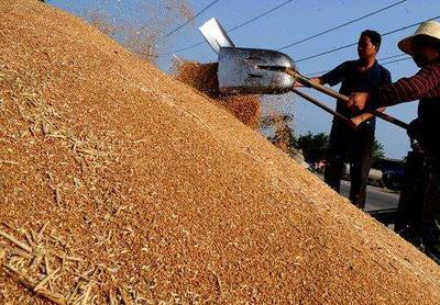 山东省济宁市汶上县混合小麦