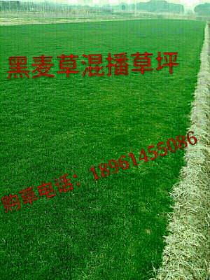 江苏省常州市武进区黑麦草
