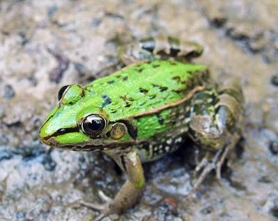 四川省宜宾市高县黑斑蛙