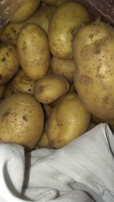 山东省枣庄市峄城区荷兰15号土豆 1两以上