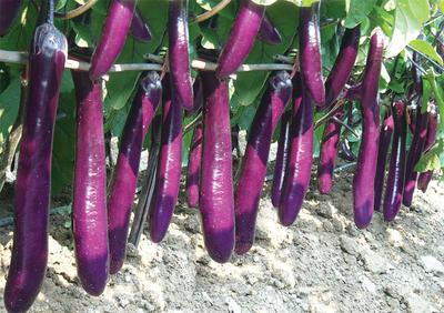 广东省广州市天河区茄子种子
