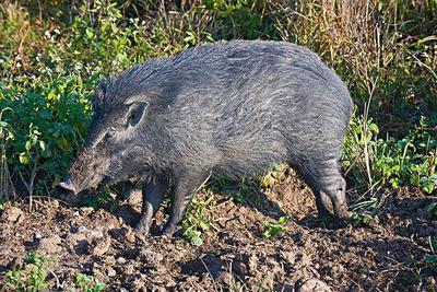广东省中山市中山市生态野猪 60斤以上 统货