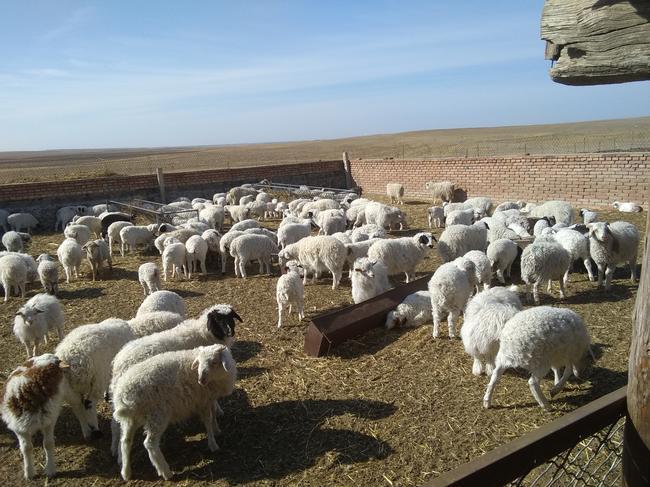 蒙古羊 30-50斤