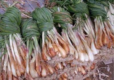 这是一张关于鸡腿红葱的产品图片