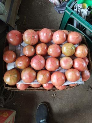 辽宁省沈阳市于洪区硬粉番茄 不打冷 硬粉 弧三以上