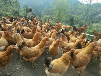 湖北省恩施土家族苗族自治州宣恩县绿壳鸡蛋 食用 箱装