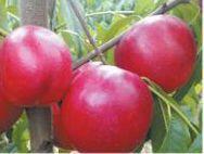 湖北省襄阳市枣阳市千年红油桃 1两以上 50mm以上
