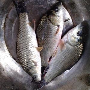 河南省洛阳市吉利区池塘鲤鱼 人工养殖 0.1公斤