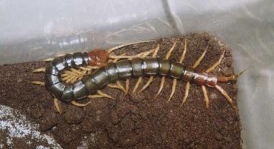 这是一张关于野生蜈蚣的产品图片