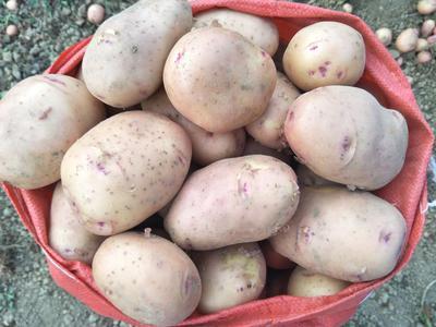 云南省昆明市呈贡区合作88号土豆 2两以上