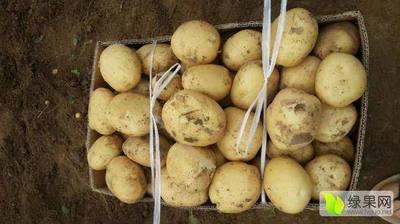河南省洛阳市偃师市中薯5号土豆 2两以上