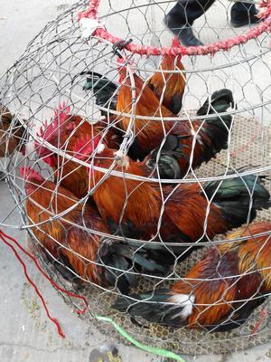 贵州省安顺市西秀区青脚土鸡 公 4-5斤