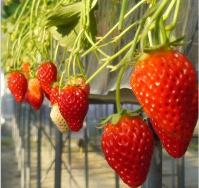 这是一张关于红颜草莓 20克以下的产品图片