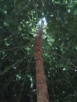 广东省茂名市茂南区粗杆发财树