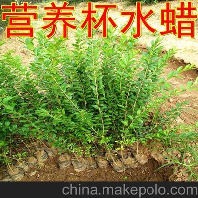 吉林省长春市九台区水蜡