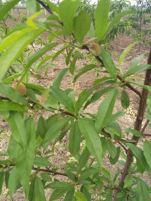 河南省南阳市邓州市映霜红蜜桃 60mm以上 3 - 4两