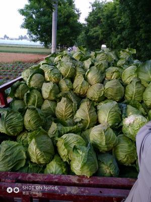 陕西省渭南市富平县卷心包菜 2.0~2.5斤