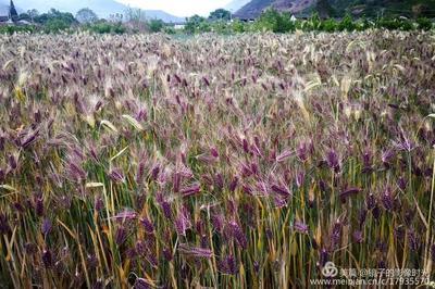 云南省迪庆藏族自治州维西傈僳族自治县青稞种子