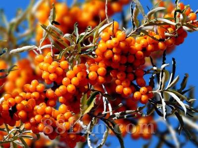 甘肃省兰州市榆中县沙棘果 橙黄色