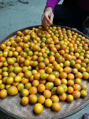 广西壮族自治区桂林市全州县脆皮金桔 8cm以上 1两以下