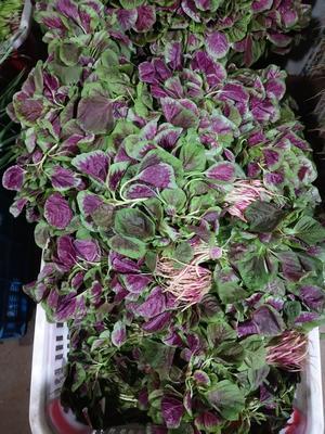 安徽省合肥市瑶海区红苋菜 15-20cm 紫红