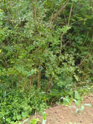 贵州省黔西南布依族苗族自治州安龙县宫粉紫荆树