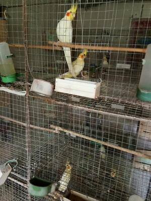 山东省潍坊市安丘市玄风鹦鹉