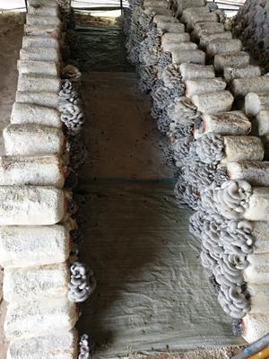 山西省晋中市榆次区鲜平菇 3-5cm 厚 黑色