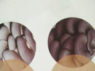 辽宁省营口市大石桥市鲜平菇 3-5cm 厚 黑色