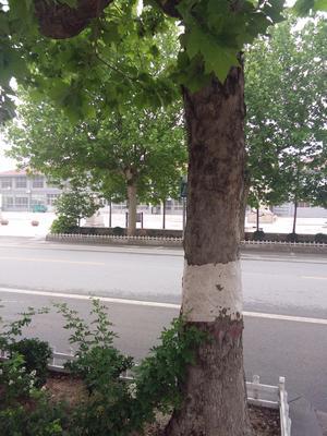 山东省青岛市平度市法国桐树