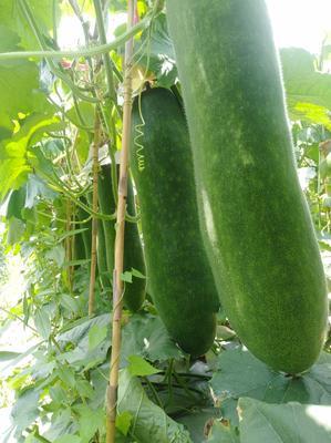 广东省惠州市博罗县黑皮冬瓜 25斤以上 黑皮