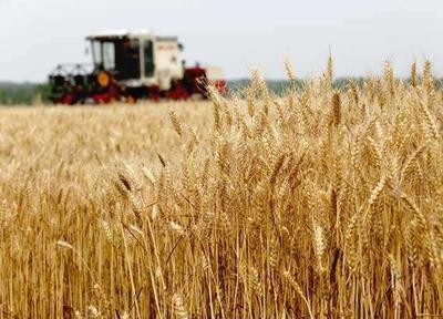 安徽省蚌埠市五河县山东烟农小麦