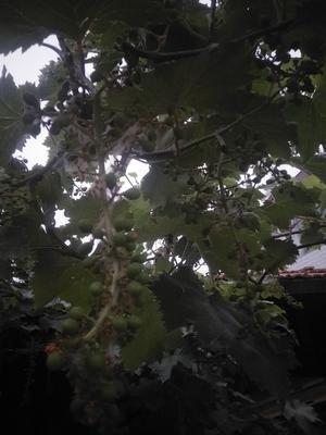 江苏省徐州市丰县红富士苹果 膜袋 条红 75mm以上