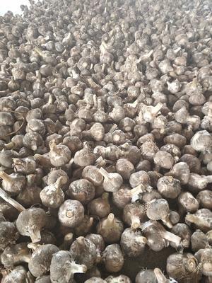 河南省周口市淮阳县蒜米 5~5.5cm 多瓣蒜